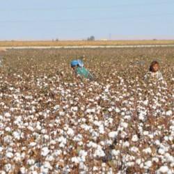 Nasturen_Turkey_FLA_cotton-fieldfooter_p51